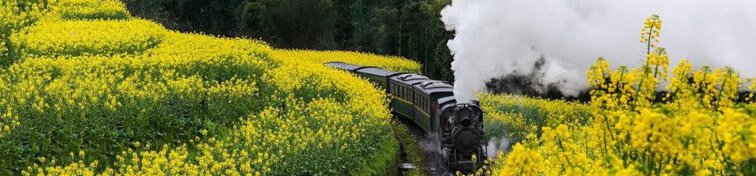 Steam train going through yellow flowers